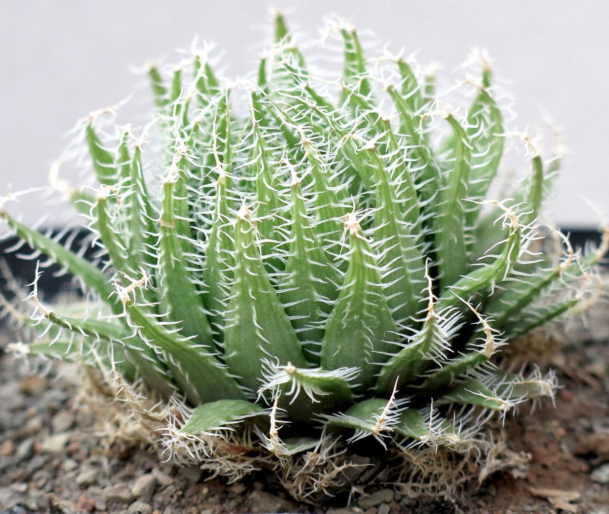 Haworthia arachnoidea settata 3