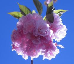 Prunus triloba 27