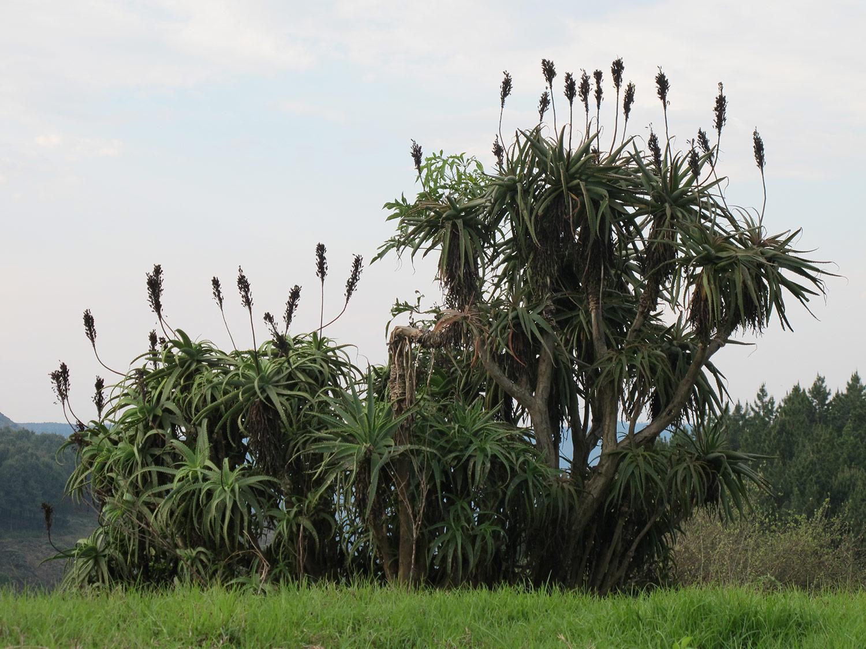 Aloe-arborescens-59-