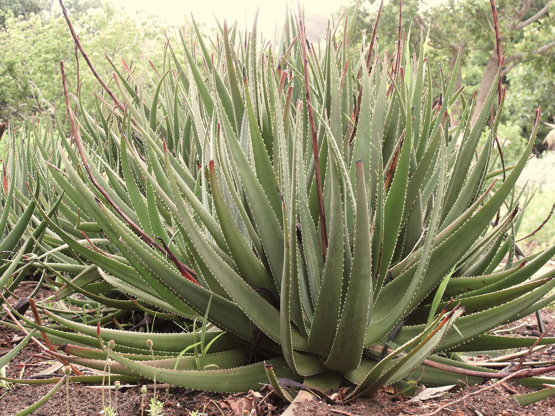Aloe-succotrina-23-