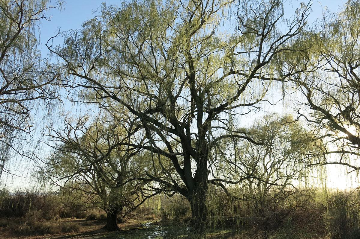 Salix babylonica 33