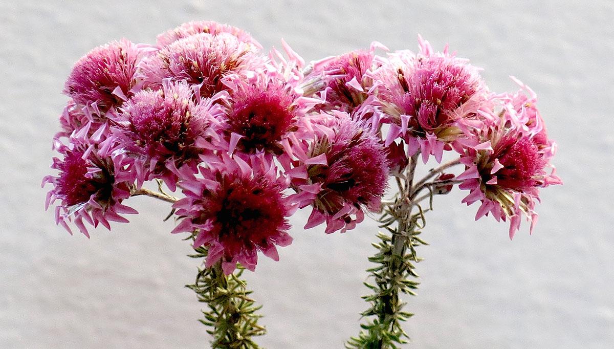Lachnospermum umbellatum 4