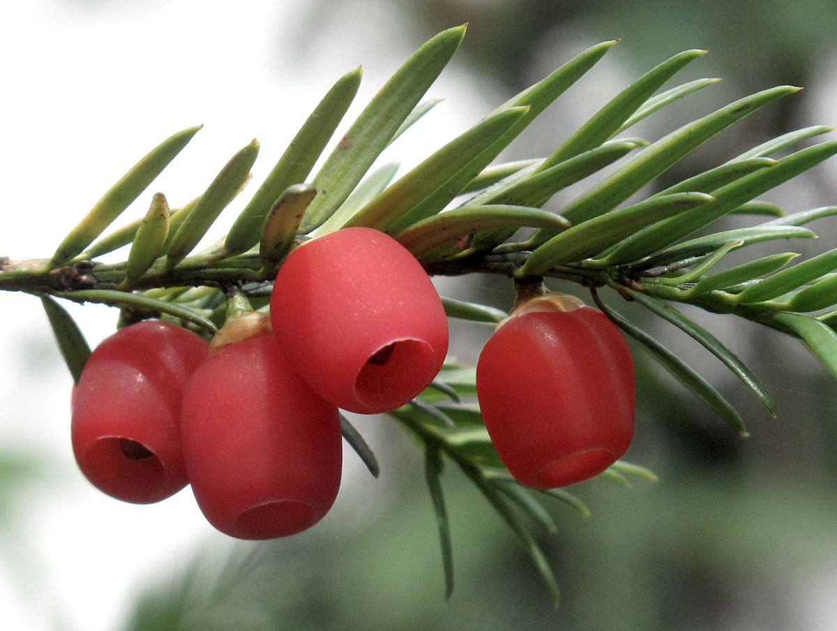 Taxus baccata 18