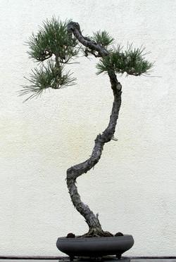 Pinus thunbergii 27