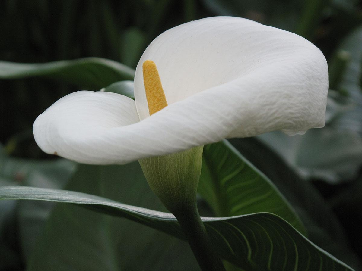 Zantedeschia aethiopica 73
