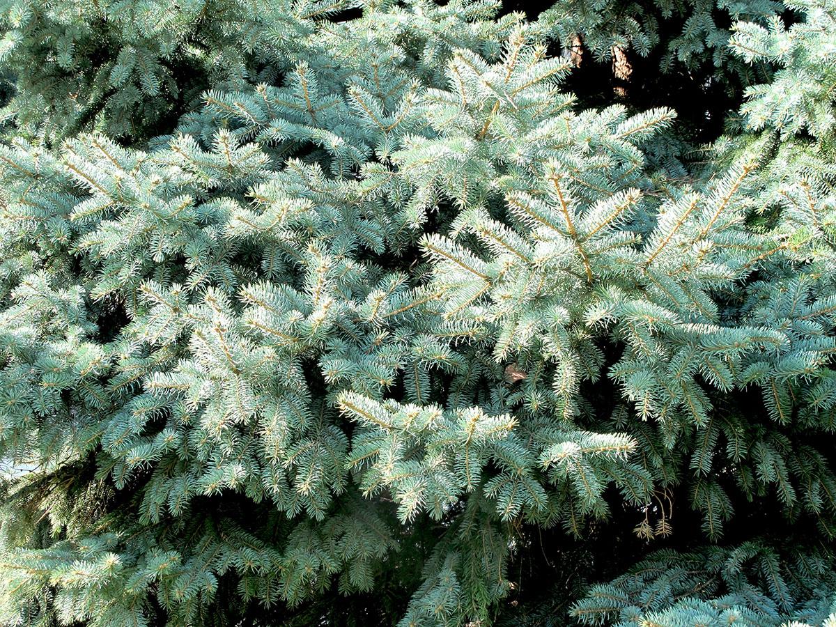 Picea pungens glauca 2