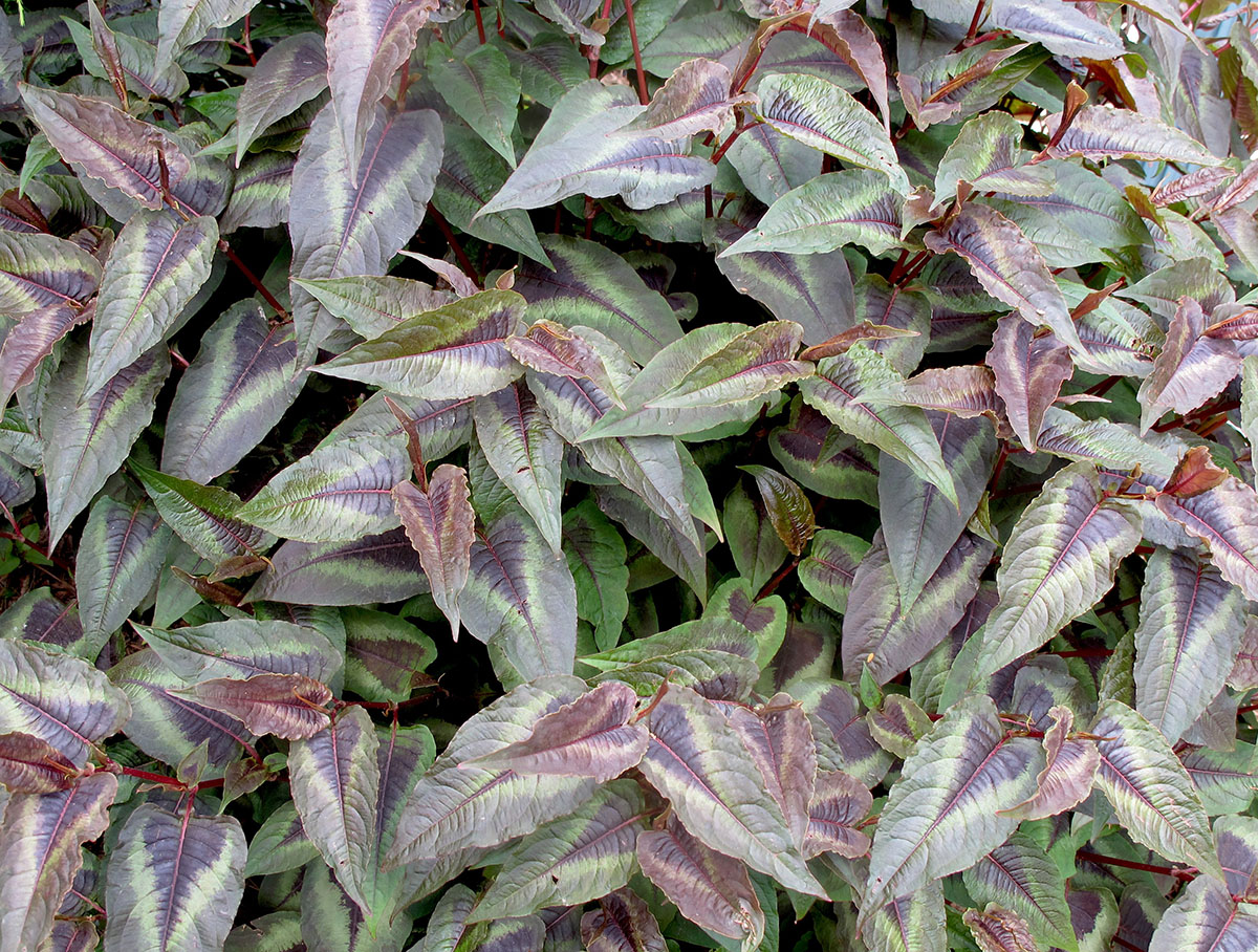 Polygonum microcephala Red Dragon 5