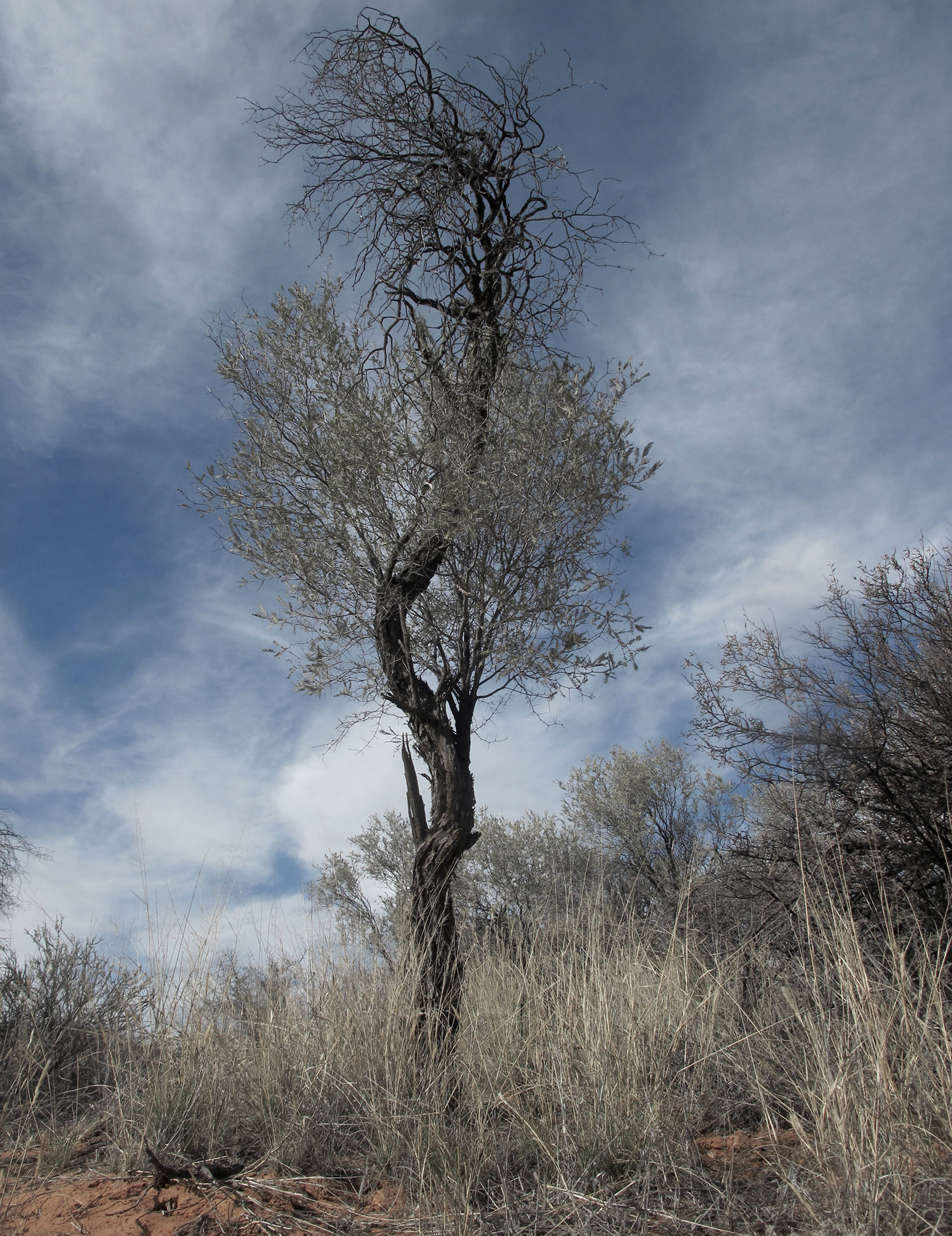 Acacia-haematoxylon-92-
