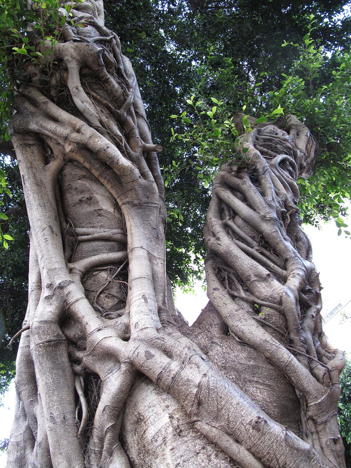 Ficus benjamina 9
