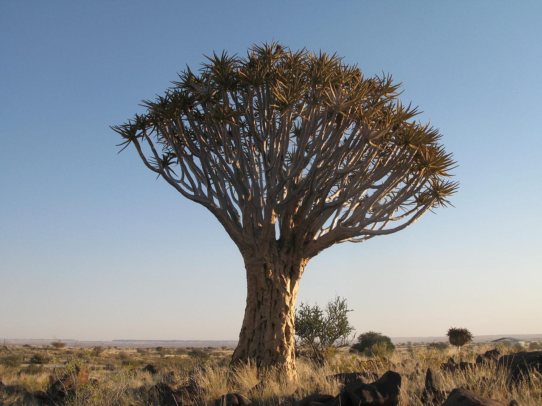 Aloe-dichotoma-38-