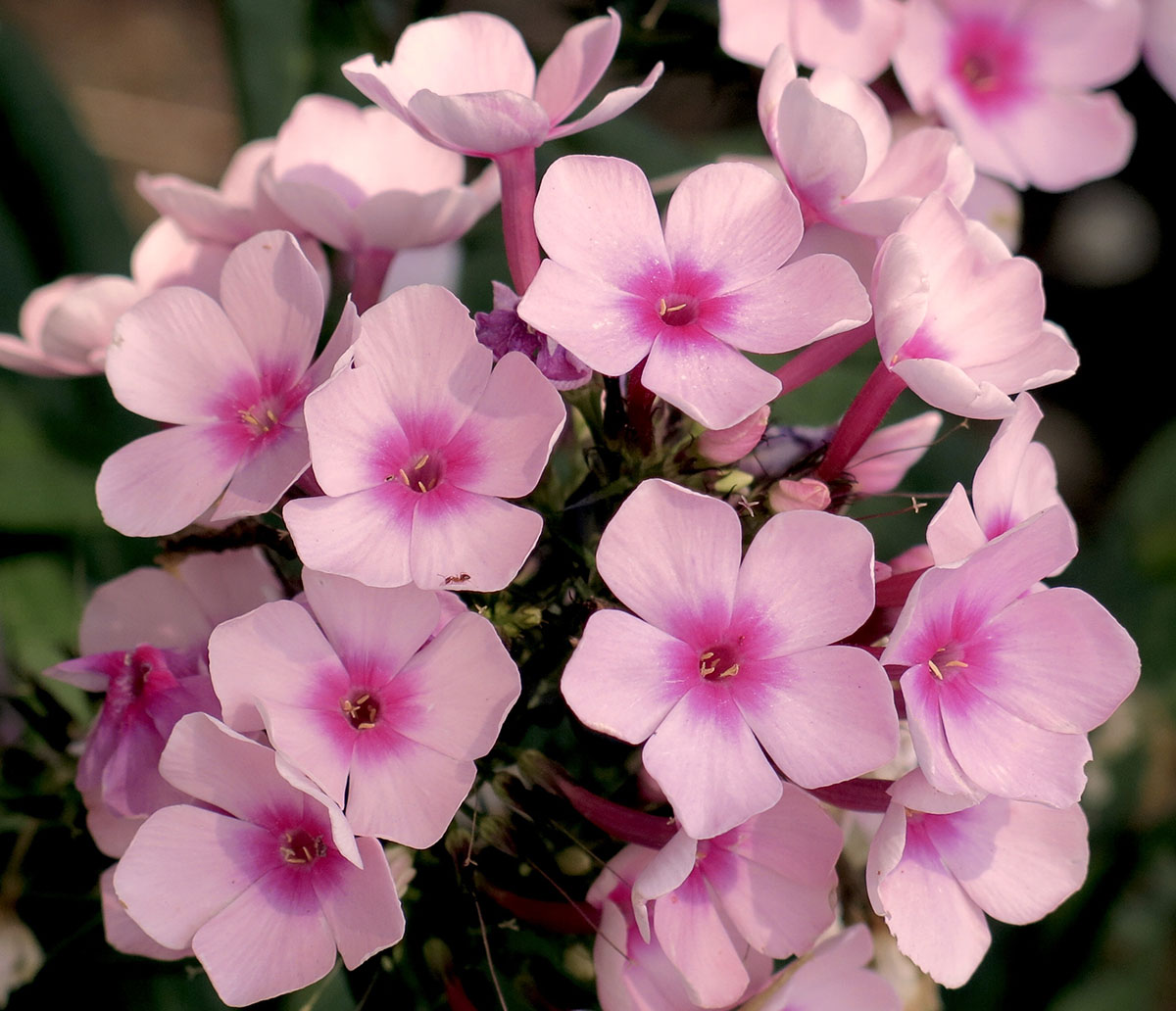Phlox paniculata Bright Eyes 4