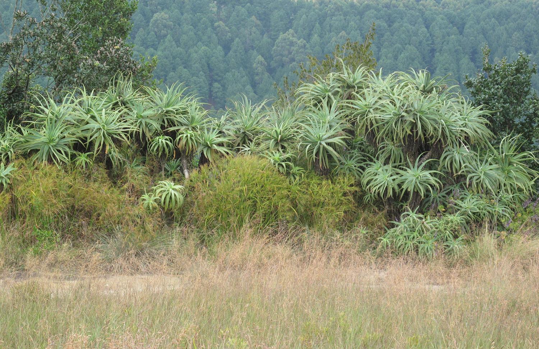 Aloe-arborescens-57-