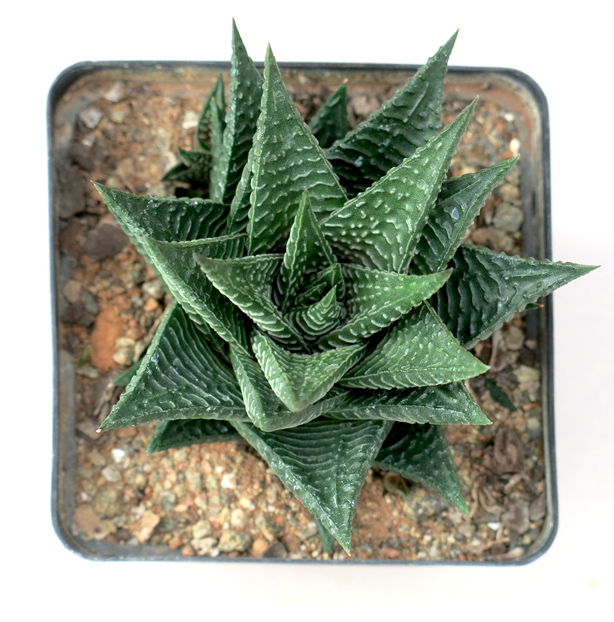 Haworthia limifolia limifolia 20