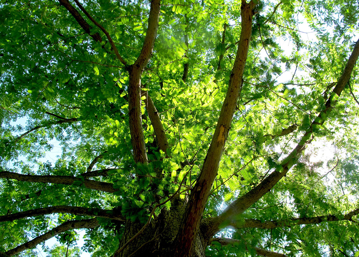 Metasequoia glyptostroboides National 18