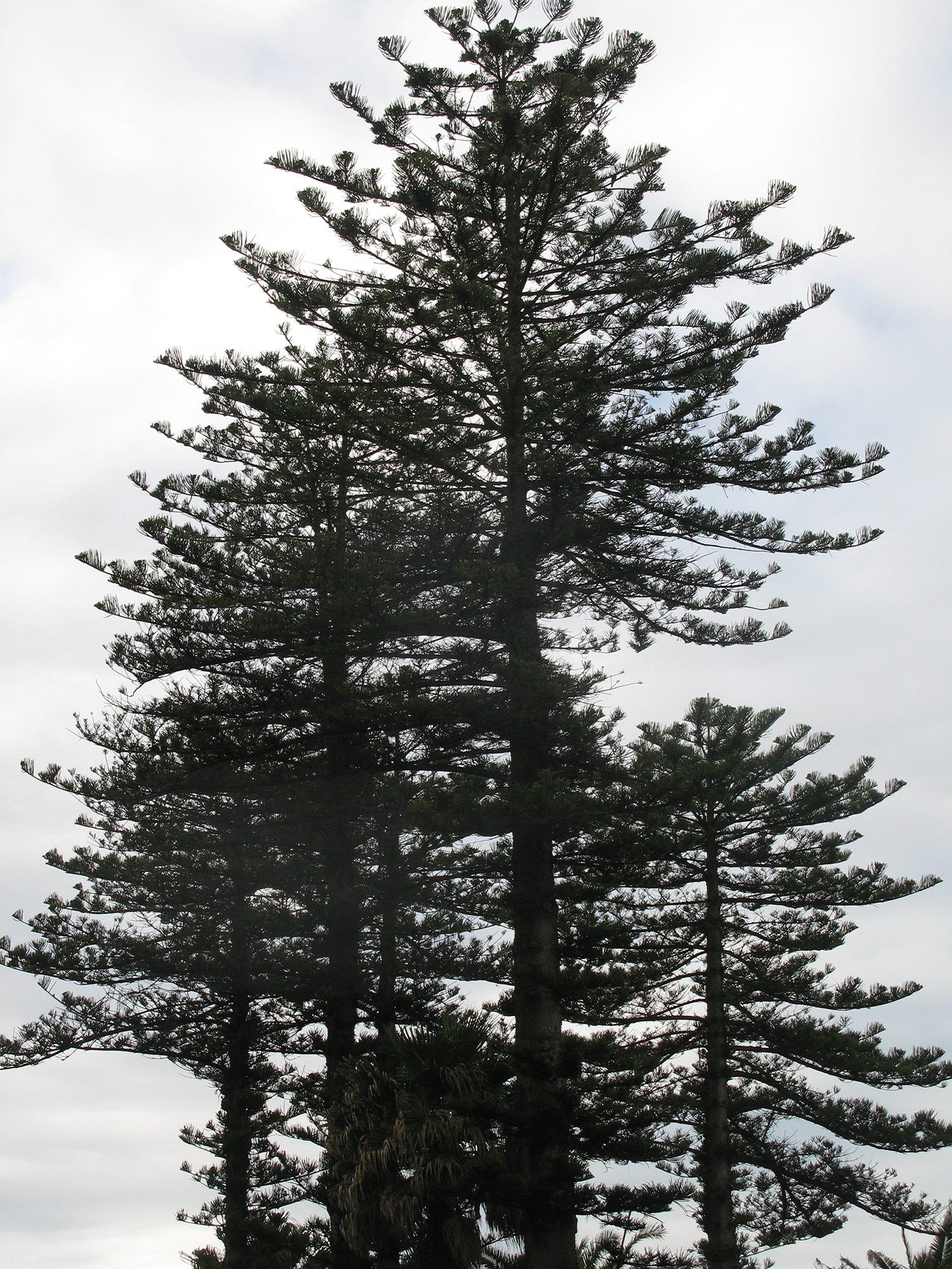 Araucaria-heterophylla-24-