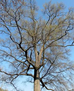 Quercus phellos 4
