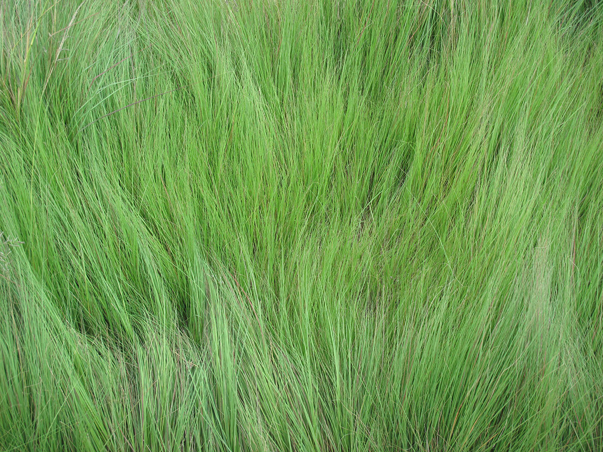 Eragrostis curvula 1