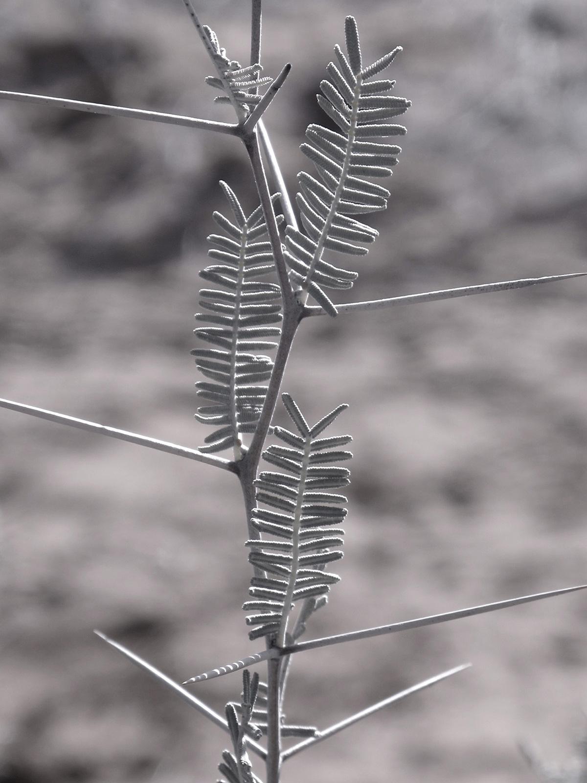 Acacia-haematoxylon-53-