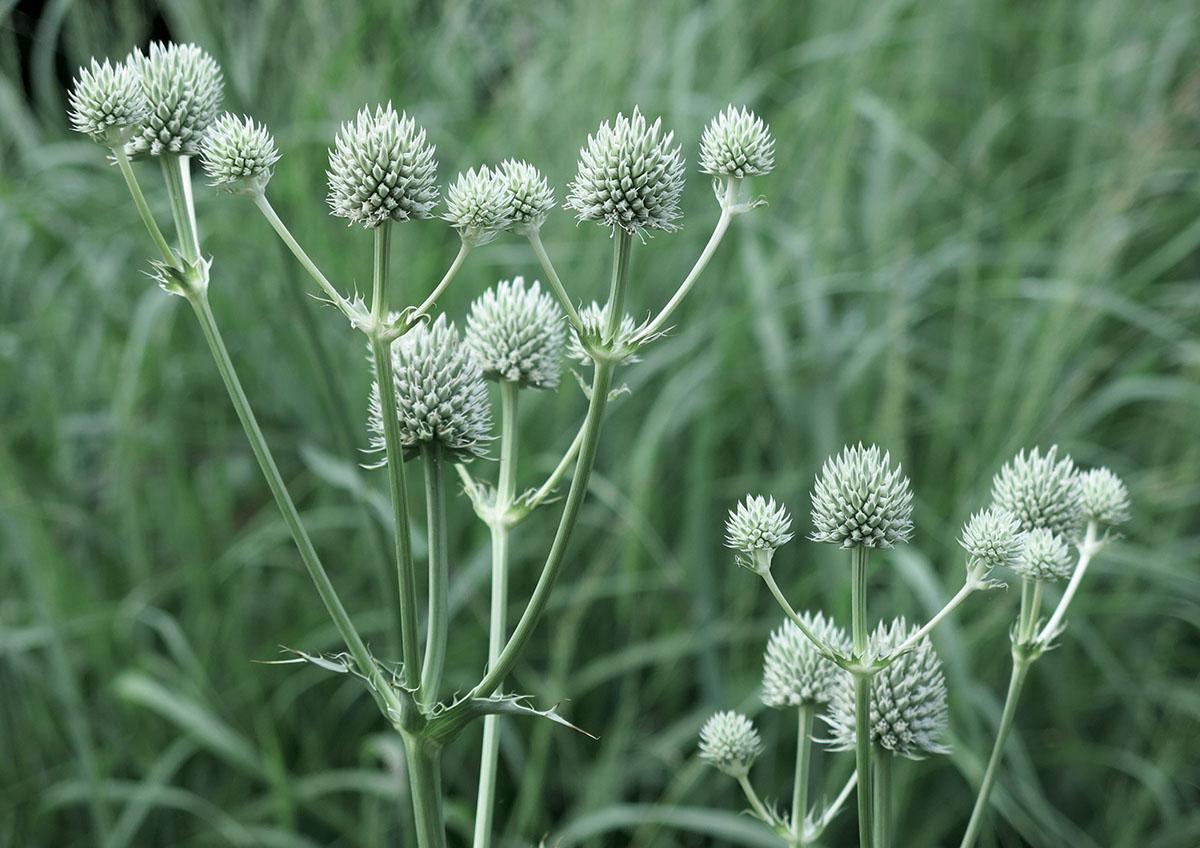 Eryngium yuccifolium 38