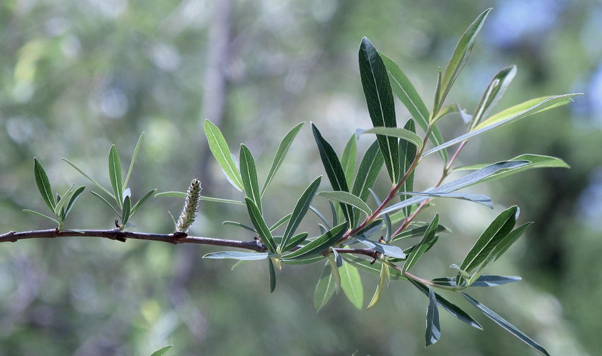 Salix mucronata woodii 6