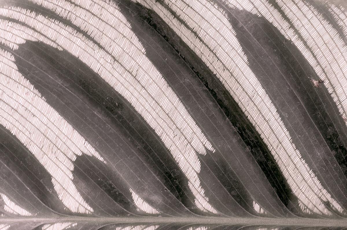 Calathea makoyana 13