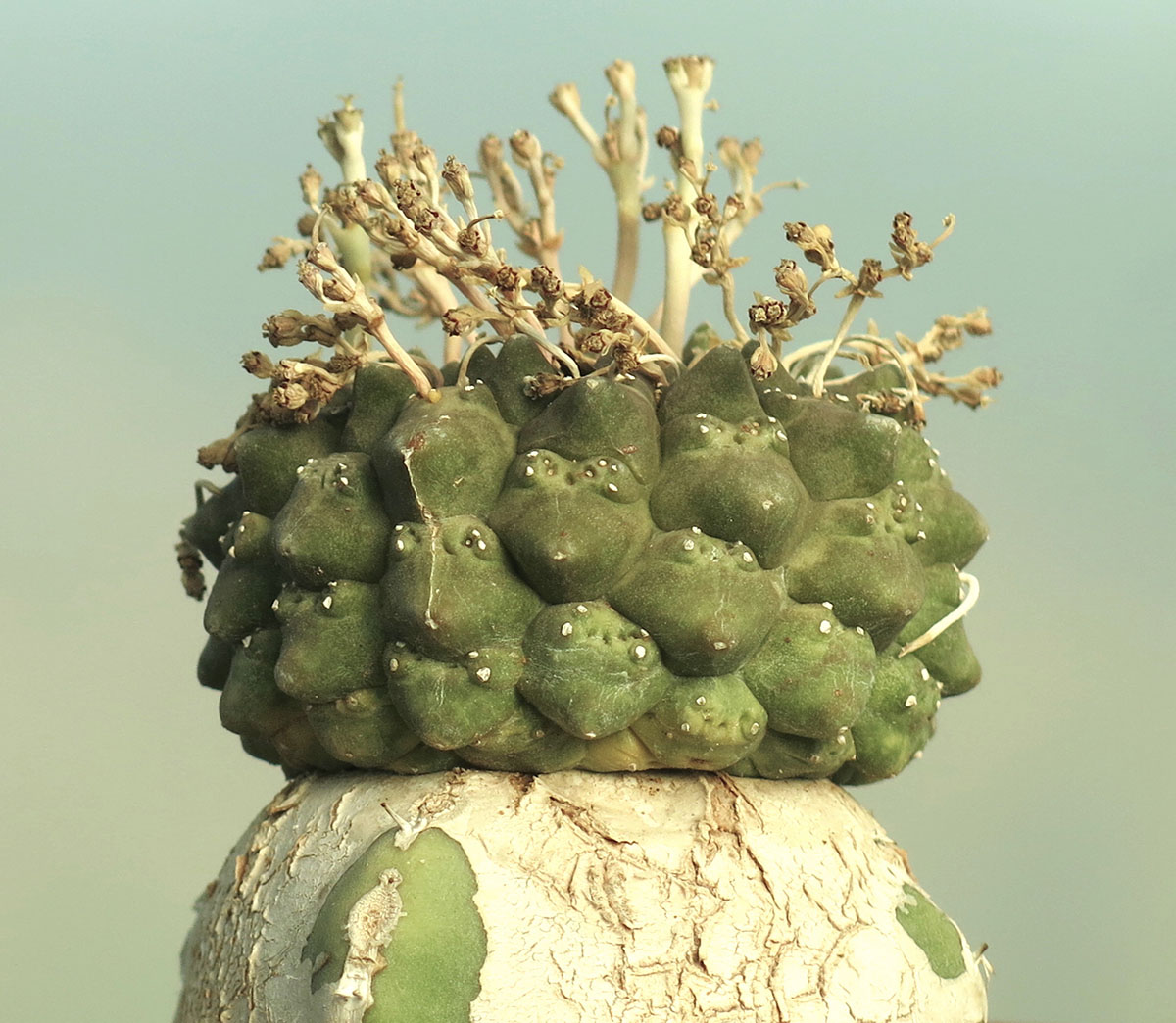 Euphorbia gymnocalycioides 5