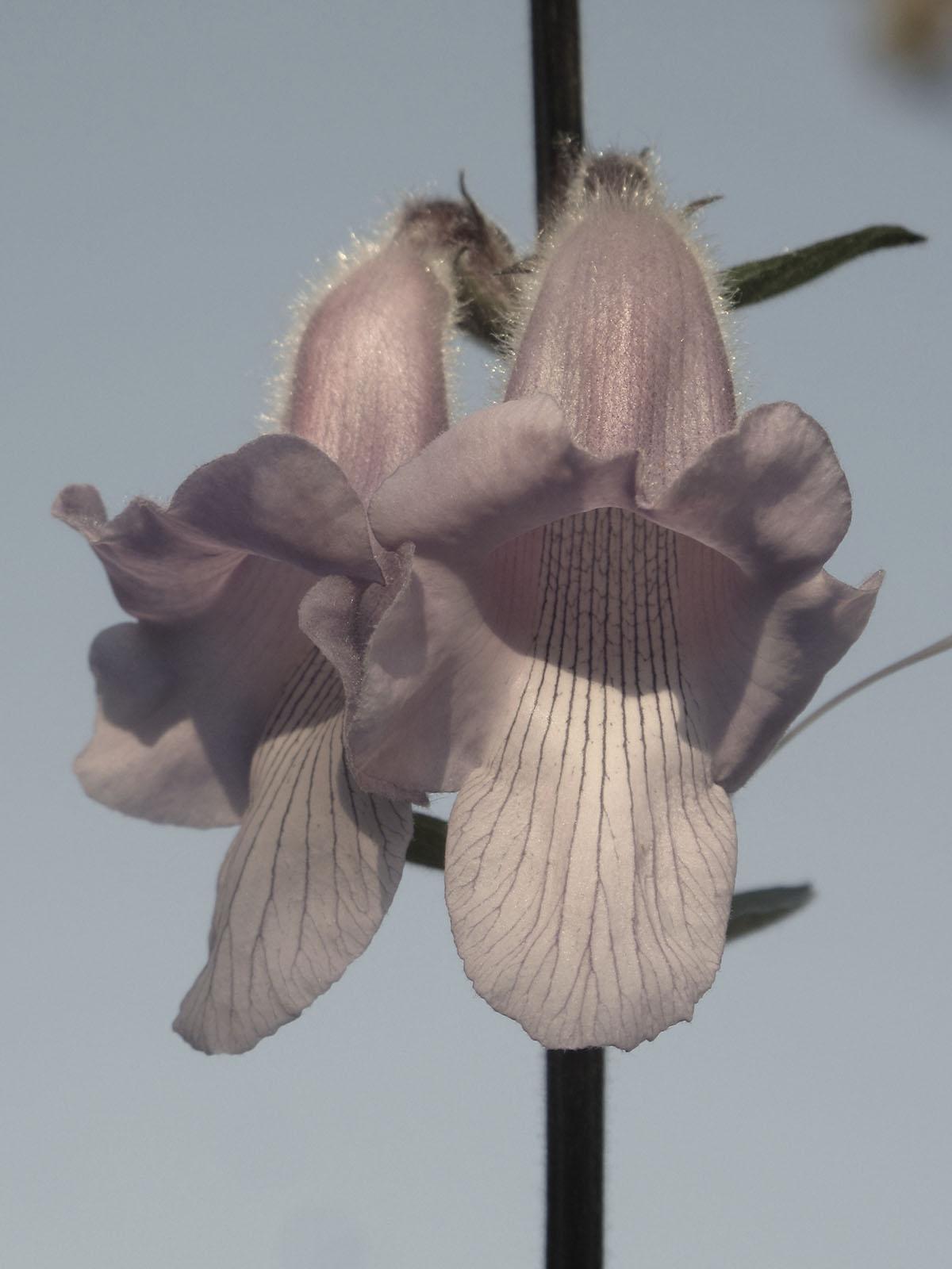 Ceratotheca triloba 48
