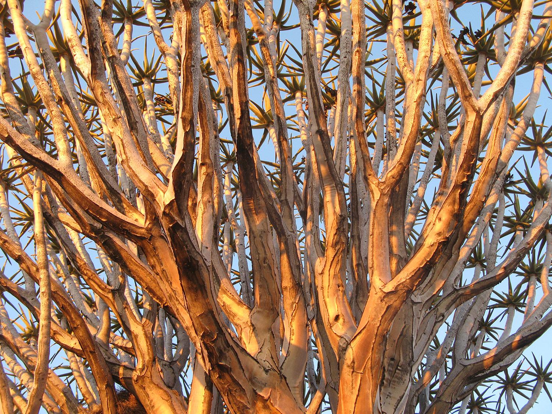 Aloe-dichotoma-89-