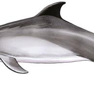 Delphinoid-2-Bottlenosed-dolphin-.jpg