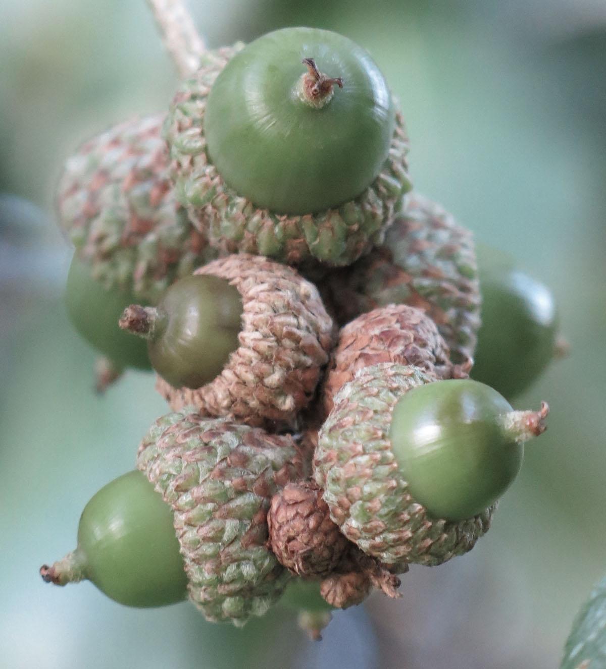 Quercus reticulata 80