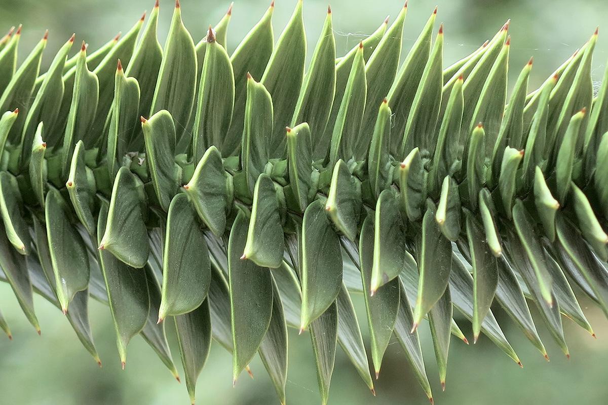 Araucaria-aruacana-37-