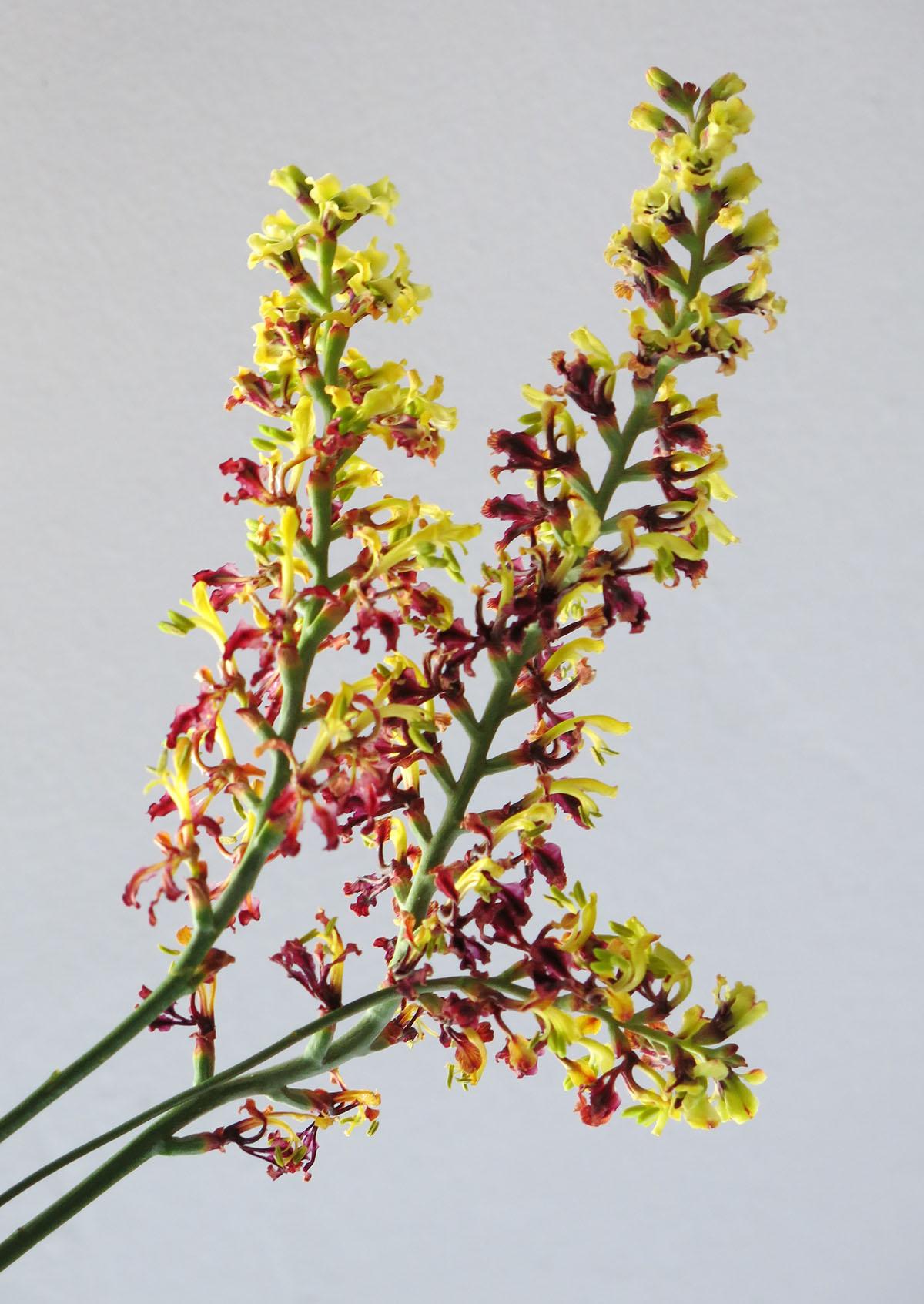 Tritoniopsis parviflora 11