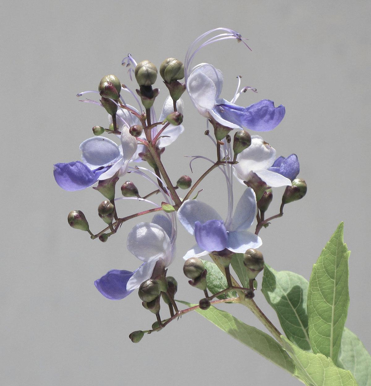 Clerodendrum ugandense 1