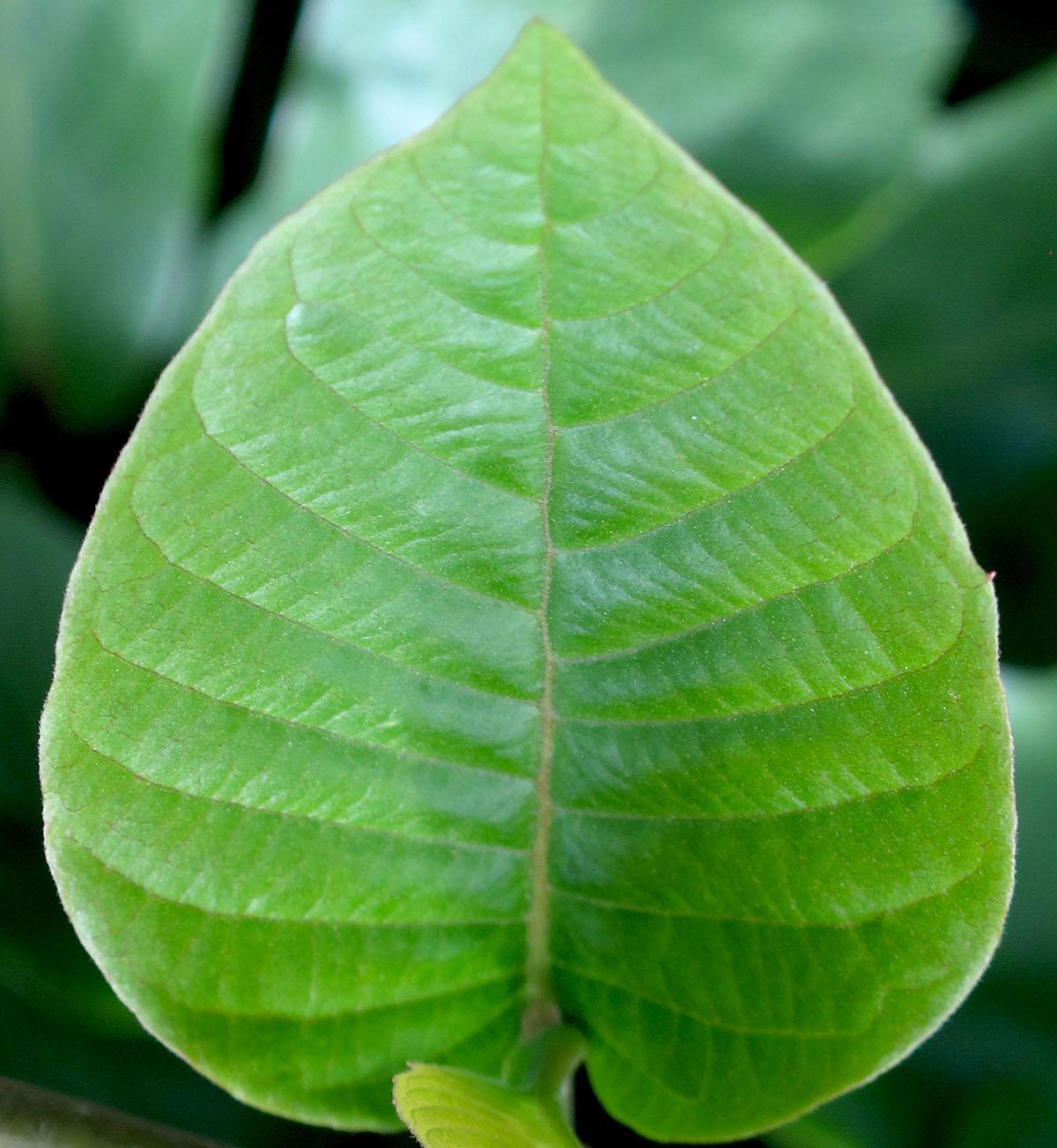 Camptotheca acuminata 7