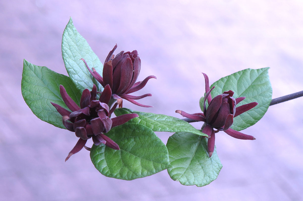 Calycanthus floridus Edith Wilder 3