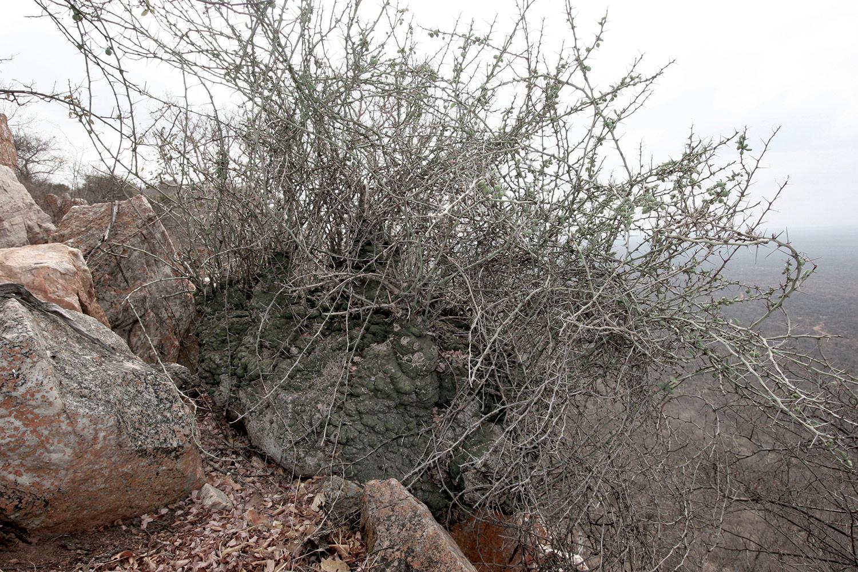 Adenia-spinosa-2