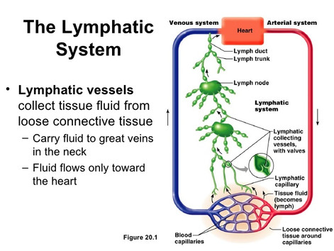 Lymphatic Drainage: Improving your Immune System with Whole Body Vibration