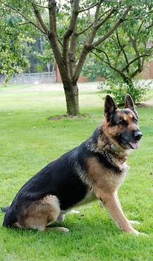German Shepherd Sitting in Grass