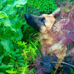 German Shepherd in the Garden