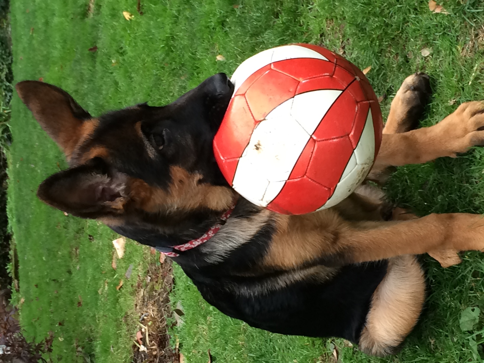 German Shepherd Pup with Ball