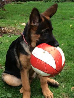 German Shepherd Pup with Ball