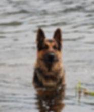 German Shepherd Swimming