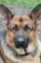 German Shepherd Closeup