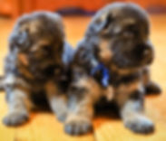 Flood Farm German Shepherd Puppies