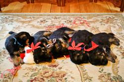 GSD Christmas Naptime