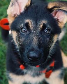 German Shepherd Puppy Closeup