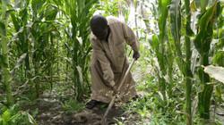 Un cultivateur de maïs dans le site aménagé de Ngarangou (Tchad)