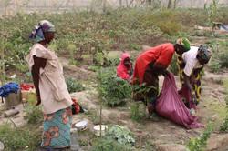Récolte sur le site maraîcher d'Adebour (Niger)