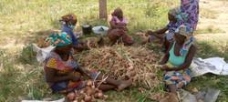 Récolte d'oignons à Dargala (Cameroun)