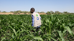 Un membre ACF de l'équipe RESILAC évalue un champ de maïs à Sawa (Tchad)